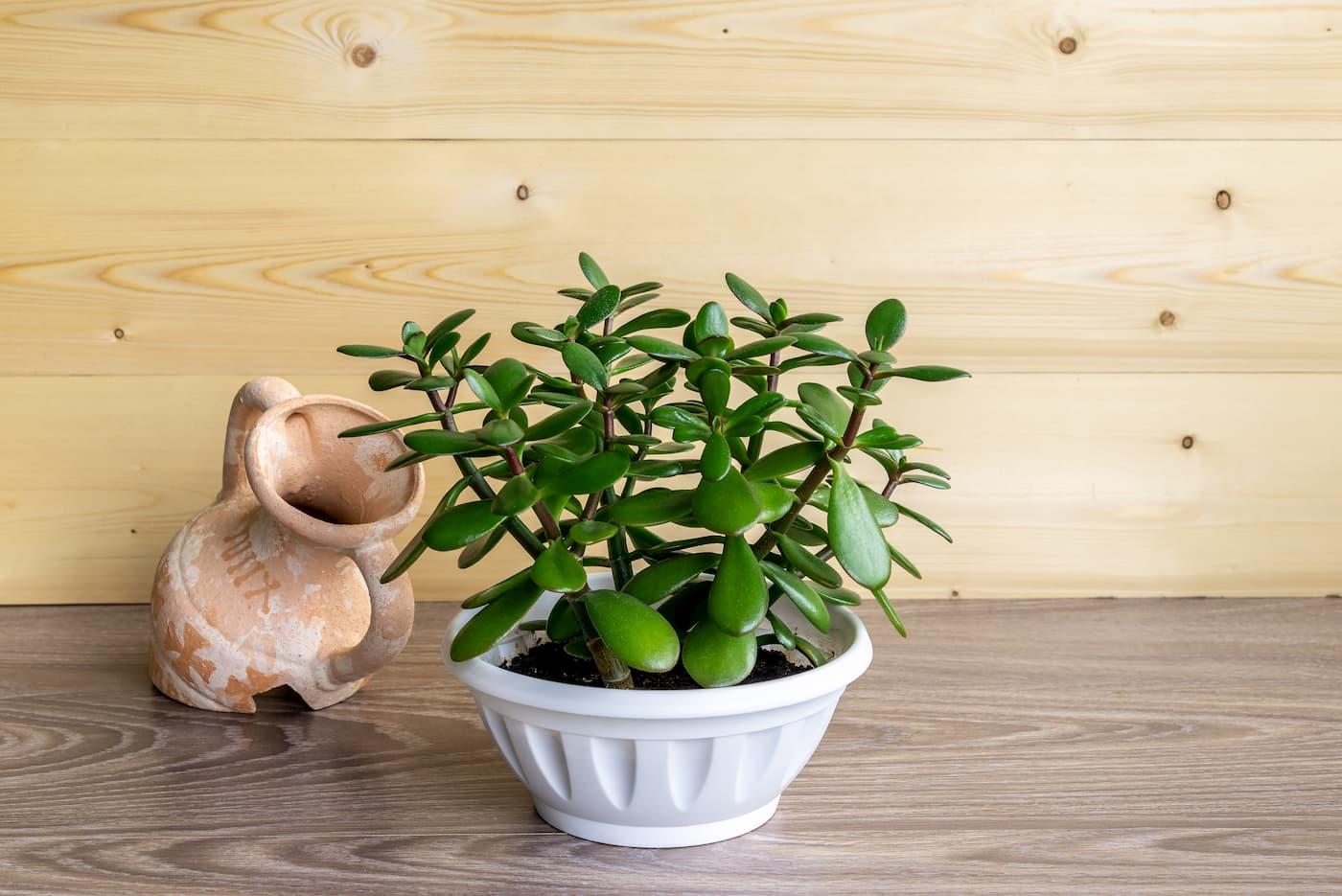 plante succulente d'intérieur